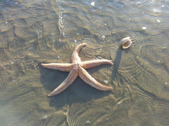 Pevensey Bay Beach: An alive star fish on Pevensey Bay Beach 