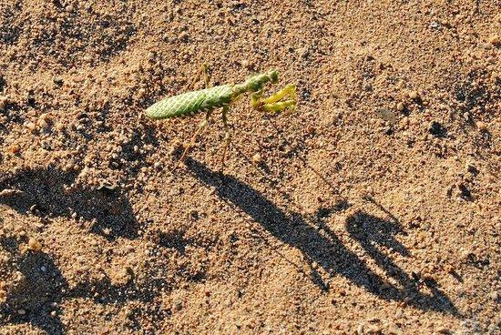 Iberotel Coraya Beach Resort: praying mantis (note the shadow)