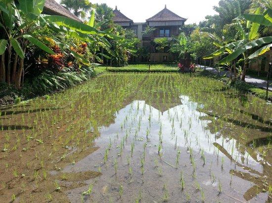 Bebek Tepi Sawah Villas & Spa: padi field