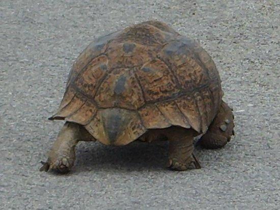 Kuzuko Lodge: Afrikansk sköldpadda