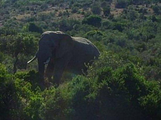 Kuzuko Lodge: Elefant i Kuzuko National Park