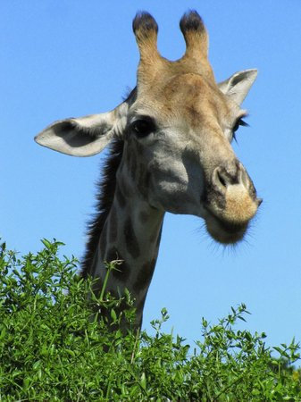 Schotia Safaris Private Game Reserve: giraffe