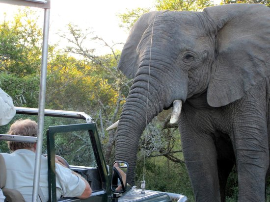 Schotia Safaris Private Game Reserve: ellie