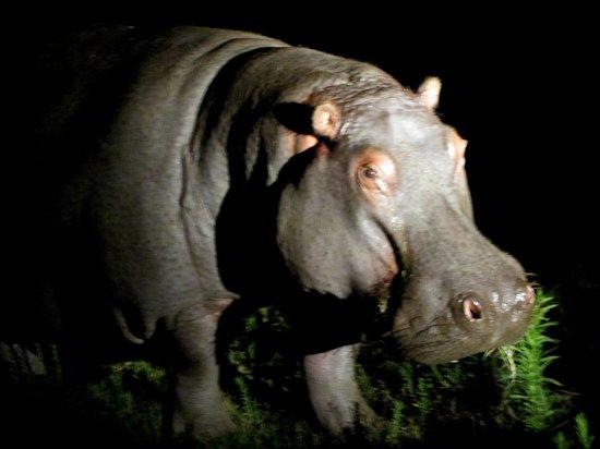Schotia Safaris Private Game Reserve: hippo