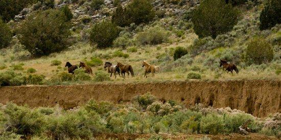 Grand Canyon-Parashant National Monument, AZ: Horses
