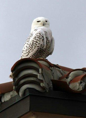 Blue Heron Inn : Snowy Owl rare site on GA coast