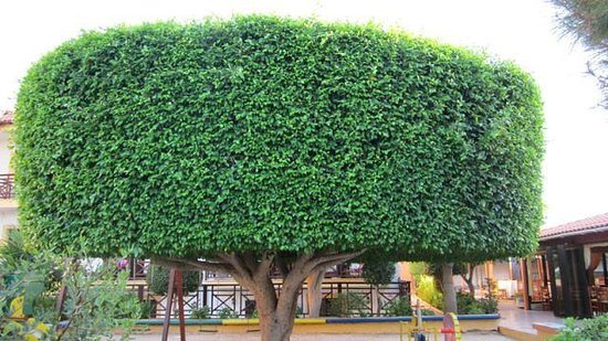 Despo: przepiękne drzewo na dziedzińcu