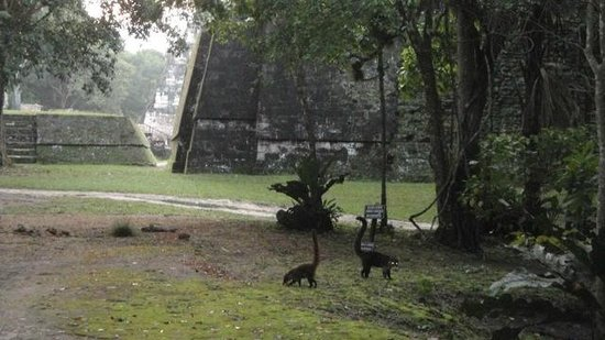 Jungle Lodge Hotel: Coati mundis wandering around the park