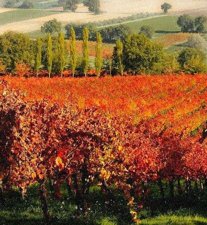 Moretti Omero:                   foliage at moretti winery