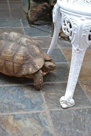 Reillys Rock Hilltop Lodge : Sköldpaddan som bor i närheten