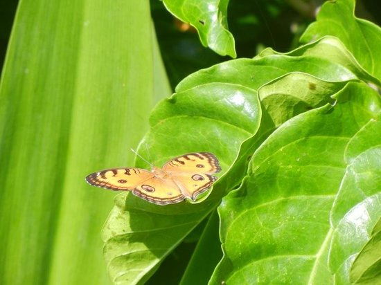 Turtle Bay Hideaway: Butterflys abound!