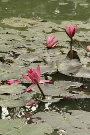 Tamarind Cooking Courses: water lilies