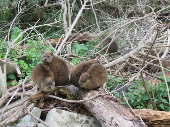 Storms River Mouth Restcamp: Dassies--closest relative of elephants!--are everywhere.