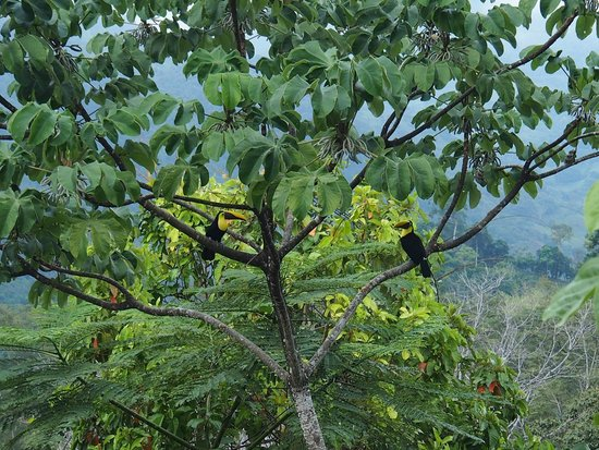 Kura Design Villas Uvita:                                     Toucans in the garden