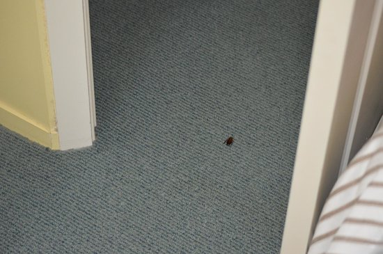 Boatshed Motel Apartments Mt. Maunganui: Cockroach in main bedroom - Boatshed Motel Apartments