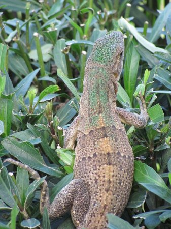 Hotel Riu Guanacaste: One of the little lizards which are fun to watch.