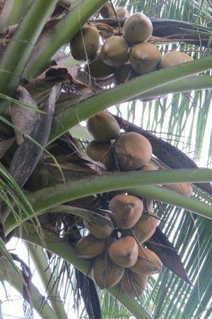 Villa Modarawattha: Coconuts