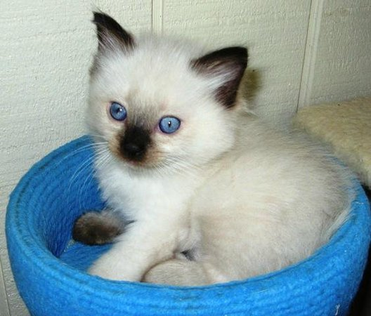 Kerikeri Holiday Cottages - Ragdoll & Black Cat: Ragdoll kitten