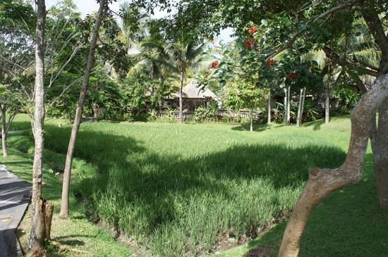 The Ubud Village Resort & Spa: Les rizières dans le jardin de l'hôtel