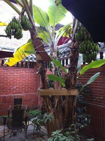 Remy's Garden Hotel : Bananenstauden im Gartenhotel