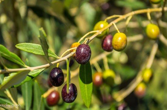Agriturismo Cioccoleta: Olive trees near the vineyards