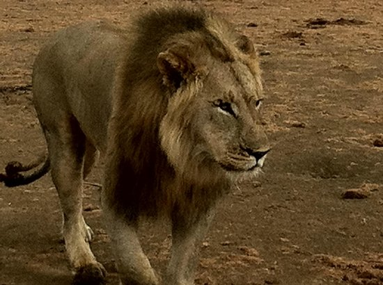 Rhulani Safari Lodge: Close Encounter with the lion