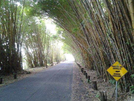 Gamboa Rainforest Resort: petit chemin en bamboo à droite apres le pont pour vous rendre au resort
