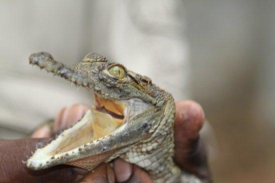 A'Zambezi River Lodge: Crocodile farm right across from A'Zambezi