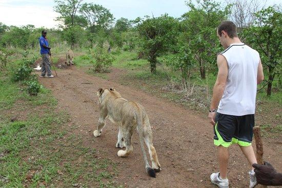 "A'Zambezi River Lodge: ""Walking with the lions"" activity"