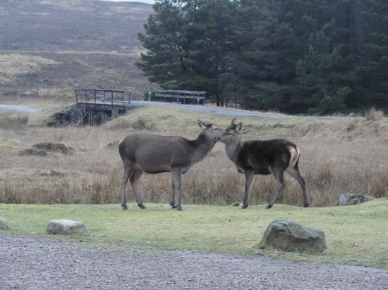 Kings House Hotel: Deer in front of the hotel