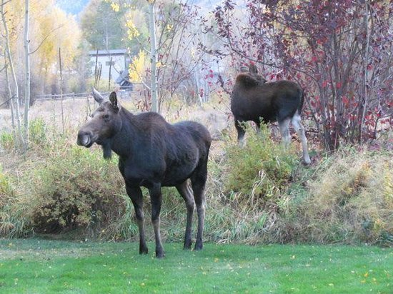 Wildflower Lodge at Jackson Hole: Moose in the backyard