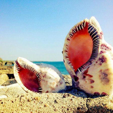 Coral Cove Resort : Conch Shells