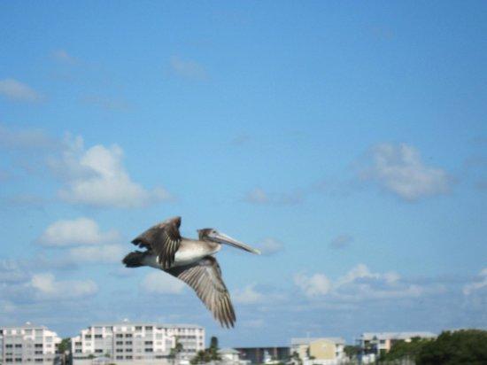 Grande Tours Kayak & Paddleboard Center: Pelican in flight