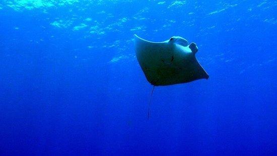 Avillion Layang Layang: manta ray layang layang