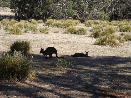 Rocky River Heritage Accommodation: Wallabies by Mays Homestead
