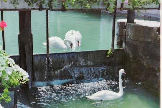 Swans of Annecy