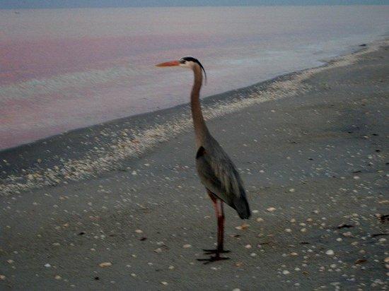 Island House: Blue Heron on the beach