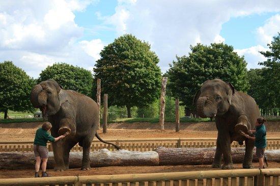 Woburn Safari Park: Elephant display