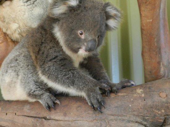 Parndana Wildlife Park: koala