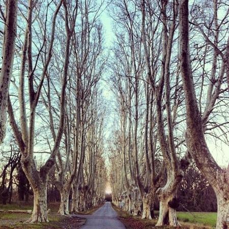 Chateau de Roussan: Il viale di gelsi
