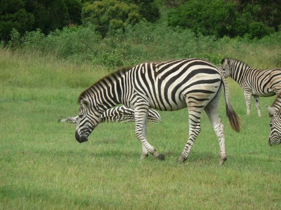 Zulu Nyala Heritage Safari Lodge: Friendly Zebra roam in the grounds