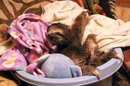 Toucan Rescue Ranch: Andie, the youngest sloth and the only 3 toed.