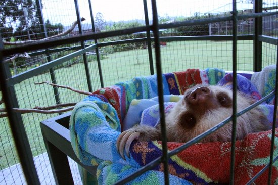 Toucan Rescue Ranch: Sloth chillin' outside.