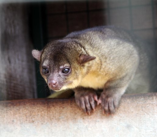 Toucan Rescue Ranch: Kinkajou - this cute little animal is in a cage near the Monkey.