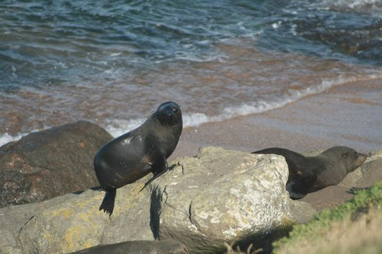 Katiki Point Lighthouse: NZ fur seal.