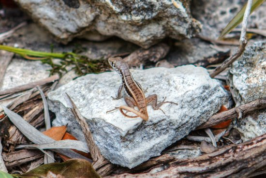 Amanyara : Wildlife - Native Lizard