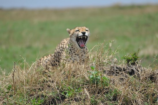 Kilima Camp : The Cheetah-Duma