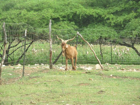 Aletta's Goat Farm: Big Ben