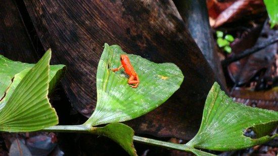 Tranquilo Bay Eco Adventure Lodge: Beautiful Frog