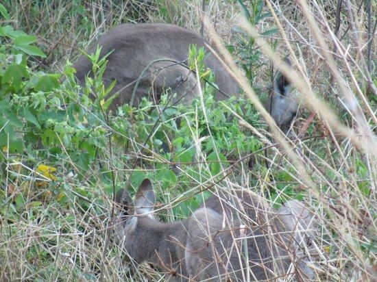 Ninderry Manor Luxury Retreat: Wild kangaroo family.